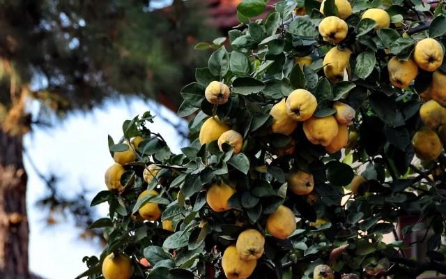 плоды на ветвях